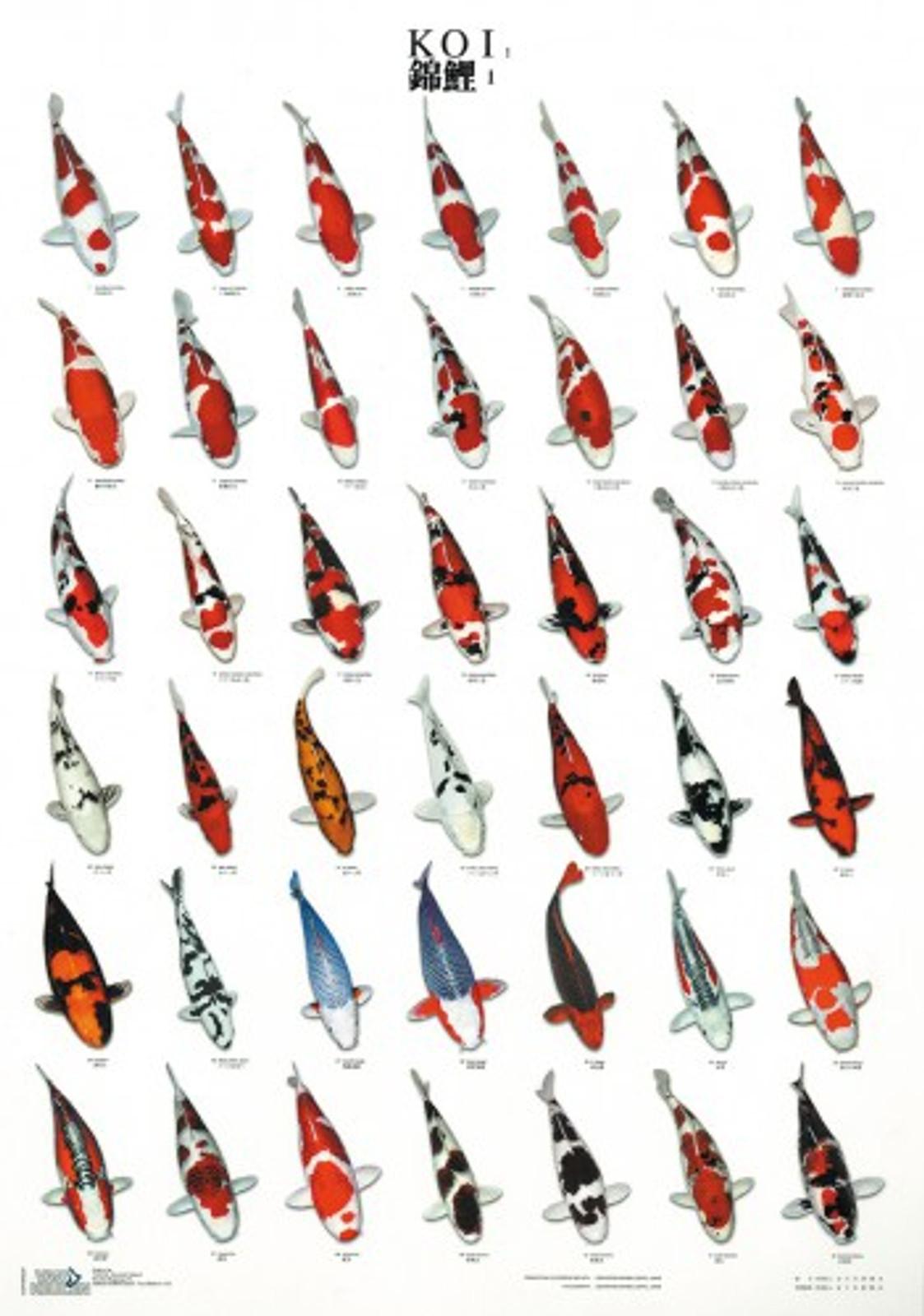 laminiertes Koi Poster Koi1, 68x98 cm