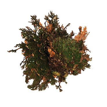 Lucky Reptile Rose Of Jericho The Reptile Keeping Store Terrarium