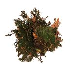 Lucky Reptile Rose of Jericho