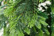 Zweige von Hartnadel-Tannenbaum