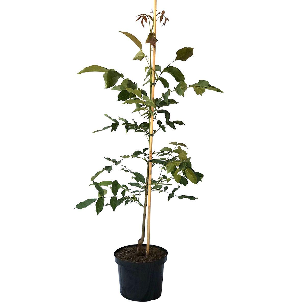 walnussbaum als s mling besonders kr ftig und robust 120 170 cm 10 liter topf ebay. Black Bedroom Furniture Sets. Home Design Ideas
