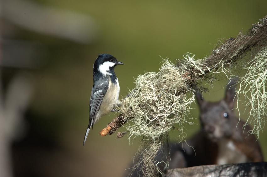 Wildvogel