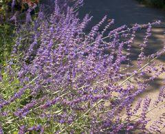 Pflanzenpaket Räuchersalbei – Bild 3