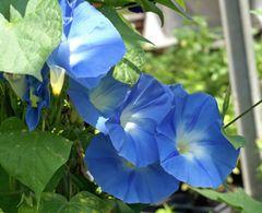 Prachtwinde blau, - Samen - Bio