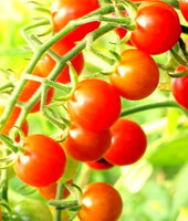 Cocktailtomate Johannisbeere rot       – Bild 2