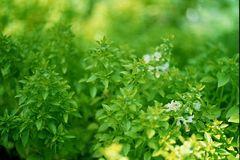 Basilikum Fino Verde Griechisches Strauchbasilikum-