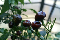 Chili Chocolate Cherry - Samen - Bio