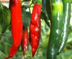 Chili aus Indien - Samen