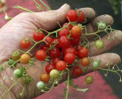 Cocktailto. Johannisbeere rot - Samen - Bio  – Bild 1