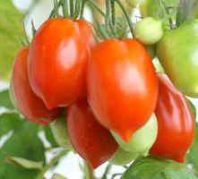 Normale Tomate De Berao - Samen -