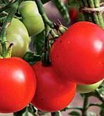 Normale Tomate Veni, Vidi, Vici - Samen -
