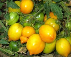 Normale Tomate Lemon Tree - Samen -