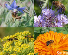 Bienenweide Mellifera - Samen  001