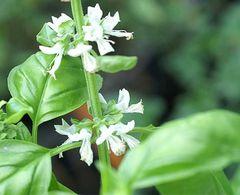 Basilikum mittelgroßblättrig - Samen - Bio