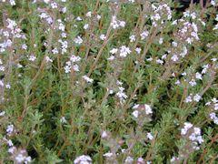 Bergbohnenkraut - Samen - Bio