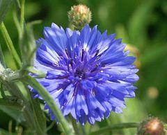 Kornblume blau - Samen - Bio