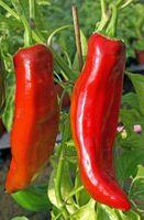Gemüsechili israelischer Riese - Samen -         – Bild 2