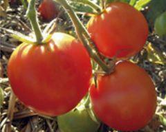 Normale Tomate Auriga - Samen -