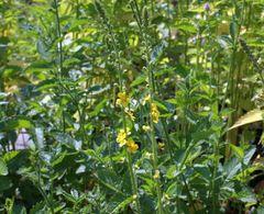 Kleiner Odermenning - Samen - Bio