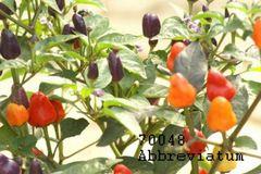 Chili Abbreviatum - Samen
