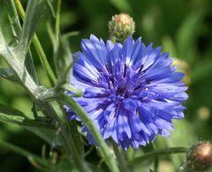 Samenpaket essbare Blüten – Bild 1