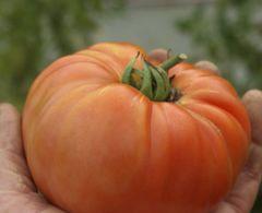 Tomatenpaket Riesig - Samen  – Bild 3