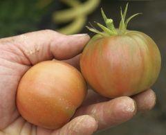 Historische Tomaten - Samen  – Bild 1