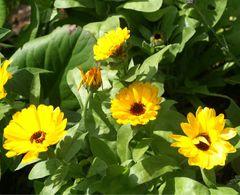 Bauerngarten niedrig - Samen  – Bild 2