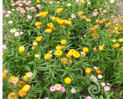 Bauerngarten niedrig - Samen  – Bild 5