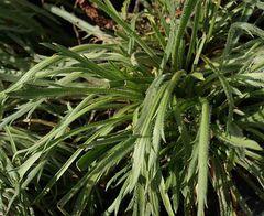Wildgemüse - Samen - Bio  – Bild 1