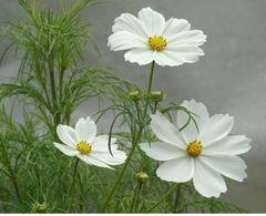 Cosmea weiß - Samen - Bio