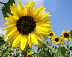 Sonnenblume - Samen - goldener Neger  Bio