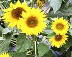 Sonnenblume Paccino  - Samen - Bio