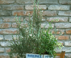 Pflanzenpaket Grillkräuter  – Bild 1
