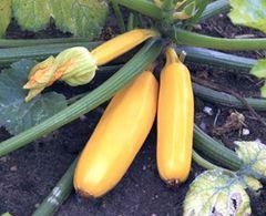 Zucchini Golden Rush