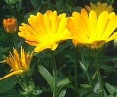 Ringelblume  Mischung  - Samen - Bio
