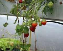 Erdbeerpaket Hängeerdbeere – Bild 1