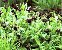 Bergflockenblume 'Black Sprite'