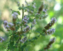 Pflanzenpaket Minzenvielfalt  – Bild 4