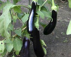 Gemüse, schwarz und lecker Samen – Bild 1