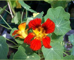 Essbare Blüten für den Schatten – Bild 1
