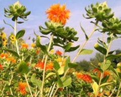 Färberdistel orange - Samen - Bio