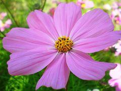 Cosmea weiß - dunkelrosa - Samen - Bio