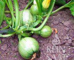 Runder Zucchini, dunkelgrün