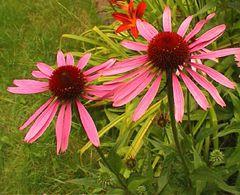Roter Sonnenhut - Samen - Bio