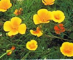 Kalifornischer Goldmohn - Samen - Bio