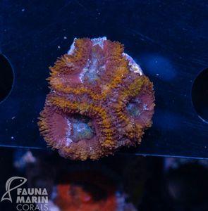 FMC Nanofrag Acanthastrea