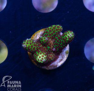 FMC Nanofrag Porites