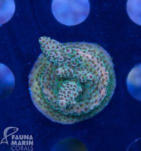 FMC Nanofrag Acropora millepora indo