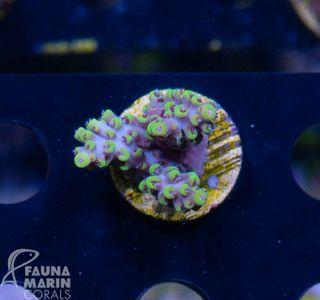 FMC Nanofrag Acropora aussie yellow
